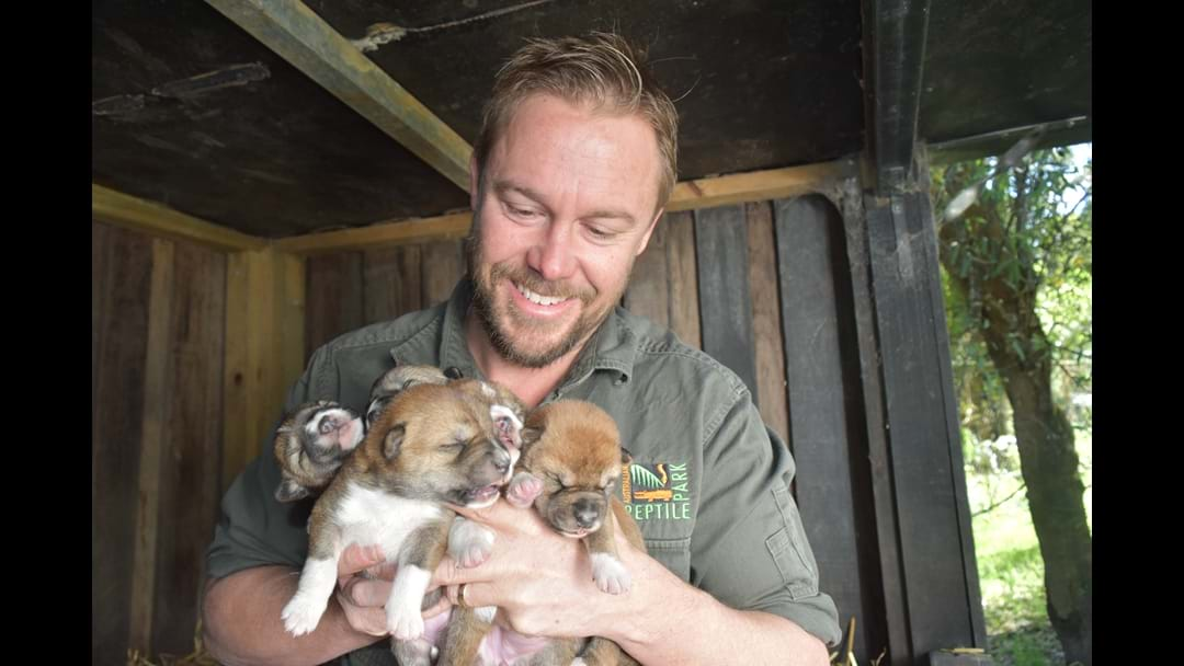 Gallery: Dingo Pups Born At The Reptile Park