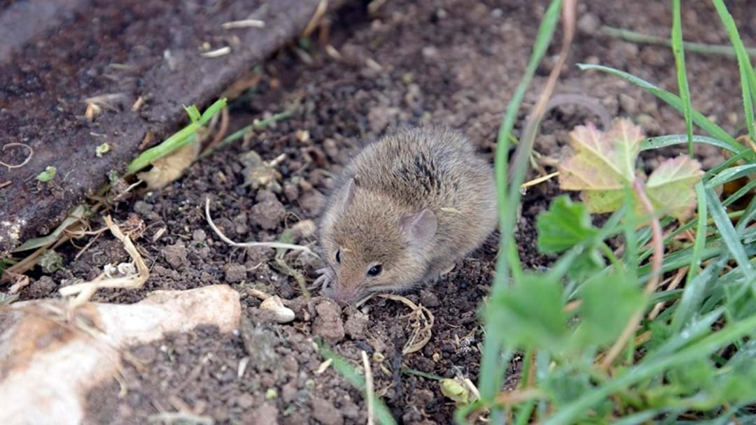 Growers Urged To Monitor Mice