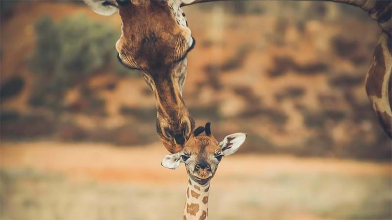 South Australia's New Baby Giraffe Is The Cutest Thing We've Ever Seen