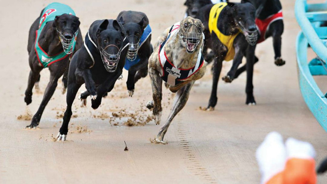 Dead Rabbits At Cessnock Greyhound Track Investigated