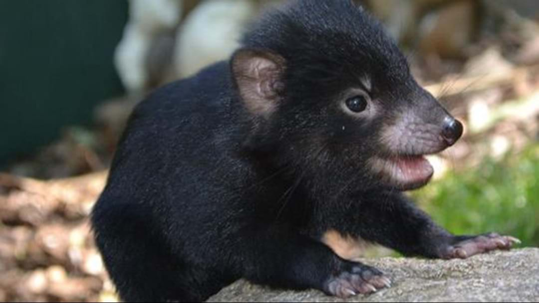 Mixed News For Tasmanian Devils Released Into The Wild