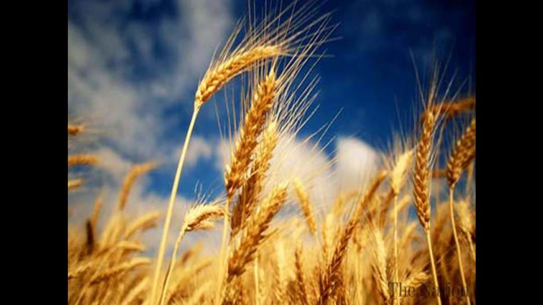 Wheat Production Forecast Down