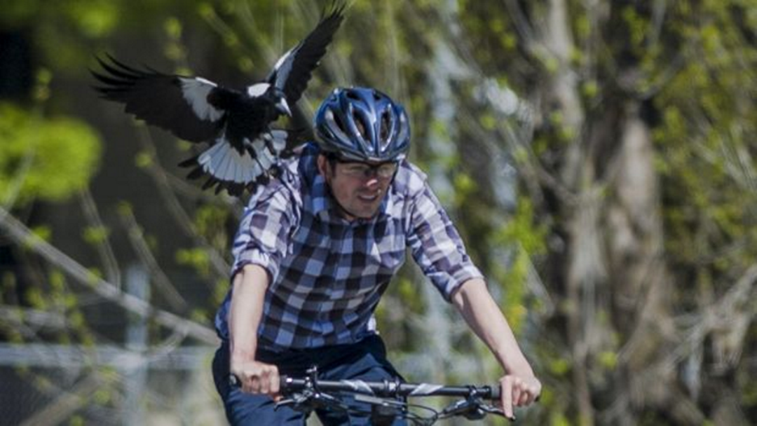 It's Magpie Breeding Season