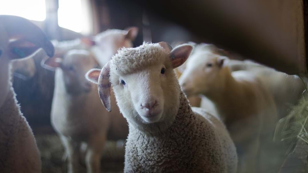 SAPOL are cracking down on the number of livestock thefts across the state