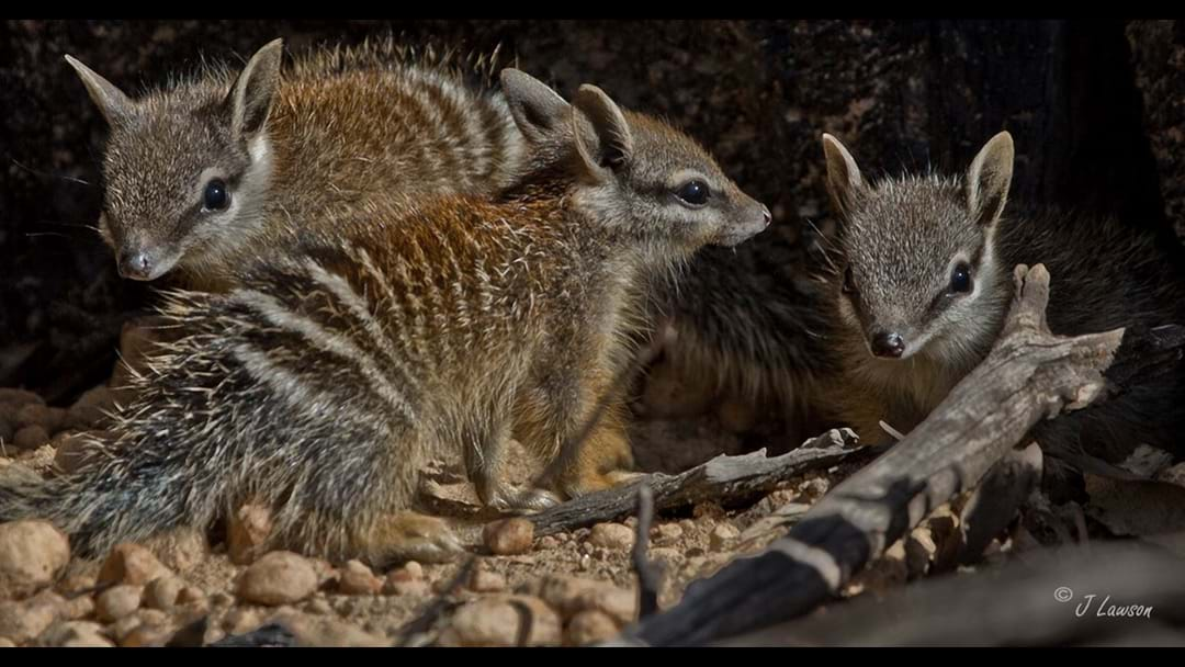 Community bands together to help protect numbats and woylies