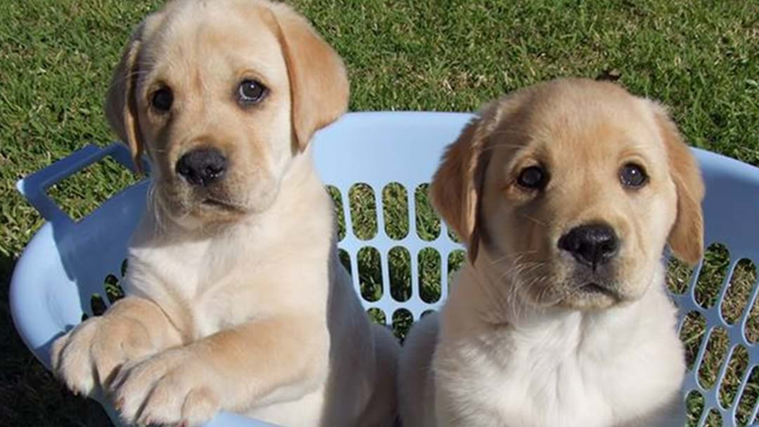 ATTN PERTH: A 'Cuddle A Puppy' Event Is Happening At Lunch Time Today!
