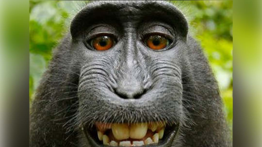 Peta Settles After Suing Photographer Over Monkey Selfie