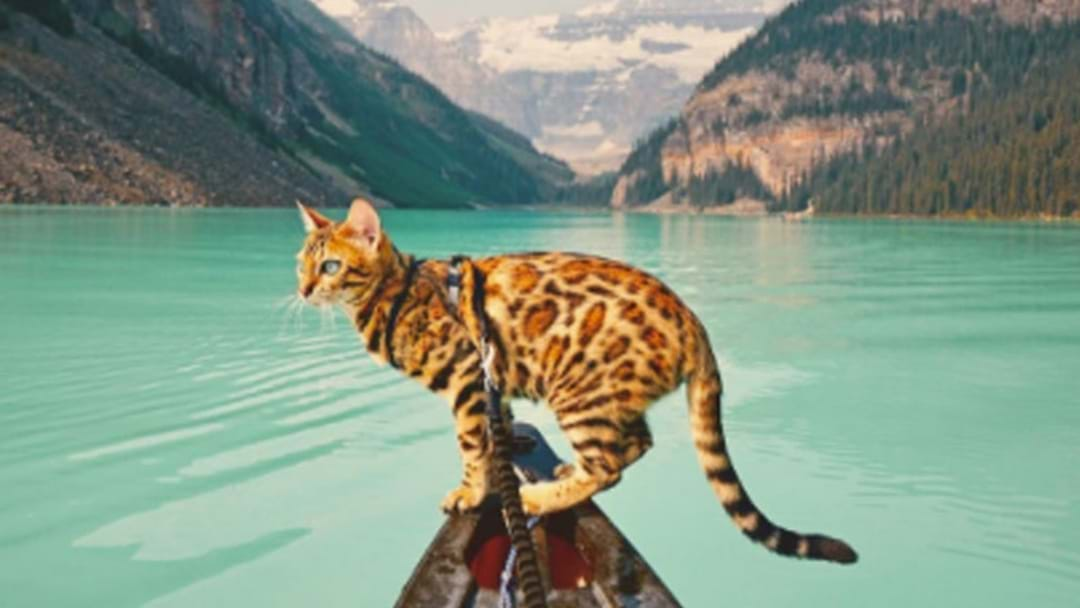 "Please Take Some Time To Follow This Beautiful Bengal ""Adventure"" Cat On Instagram"