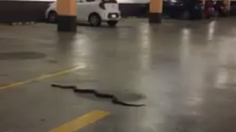 Article heading image for VIDEO: Snake Surprises Shoppers At Marketown