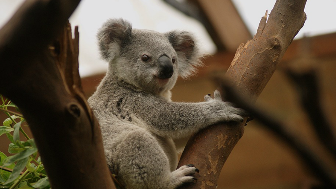 Koala Found Dead With Ears Cut Off At Warrnambool