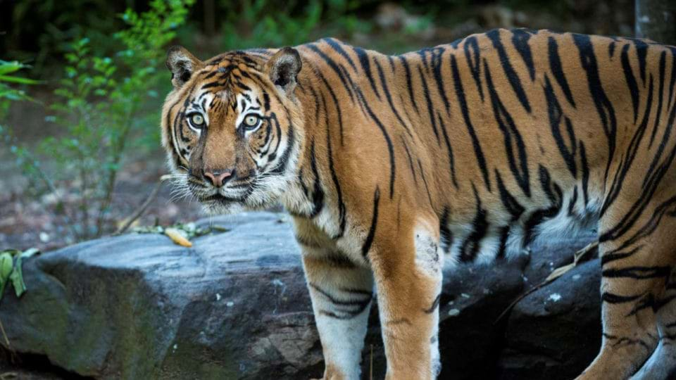 Zoo Atlanta mourning loss of Sumatran Tiger