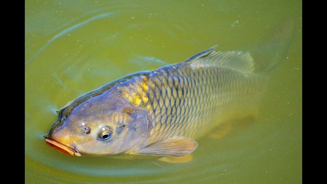 Wagga Carp Meeting To Discuss Control Measures