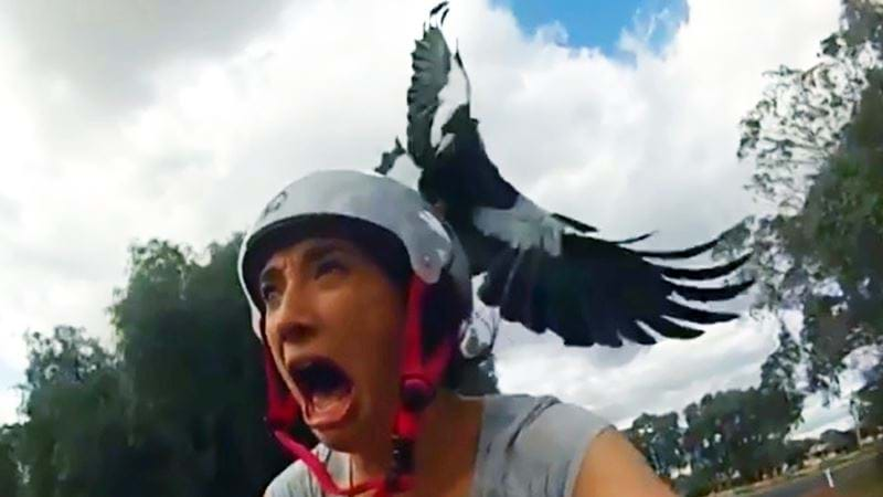 Article heading image for WARNING: Magpie Swooping Season Isn't Over In NSW