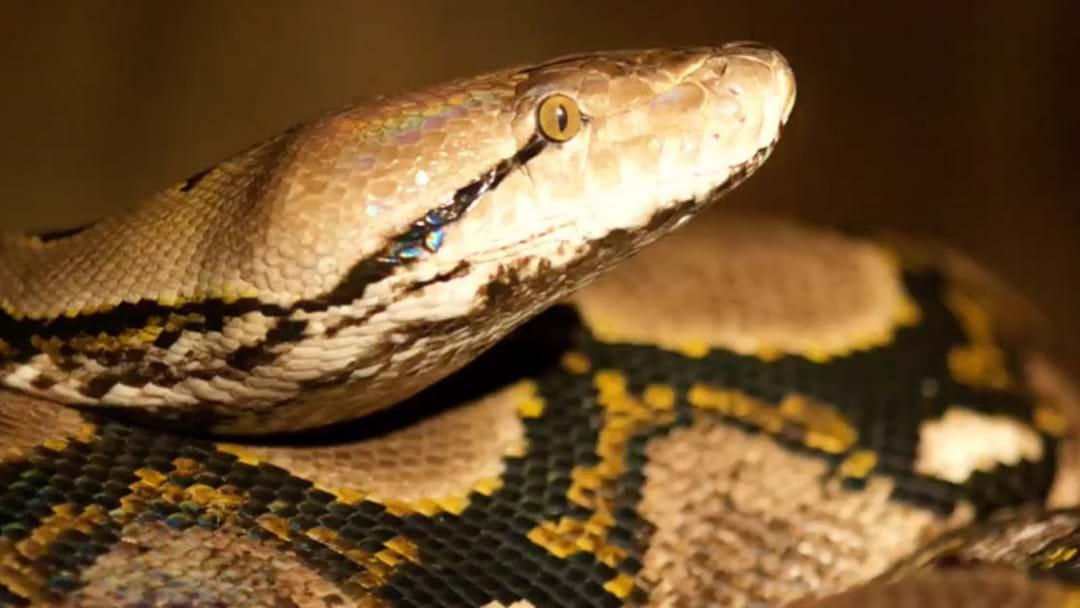 Reptile Keeper Bitten By 'Monster' Snake At Australian Reptile Park