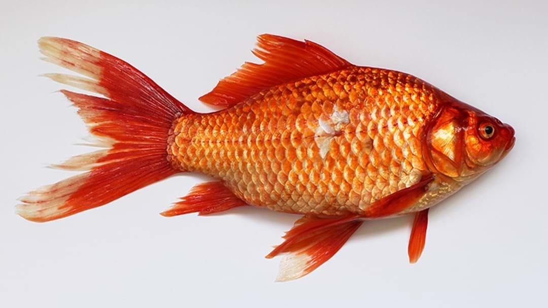 NSW Man Filmed Eating Live Goldfish Being Investigated