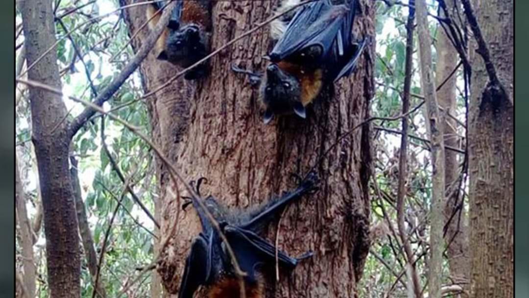 Hundreds Of Bats 'Boil' After Extreme Heat