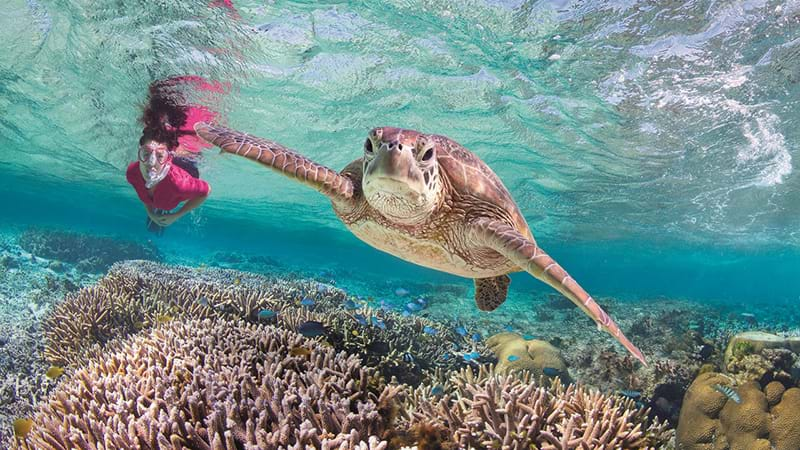 Rising temperatures turning green sea turtles female in Great Barrier Reef