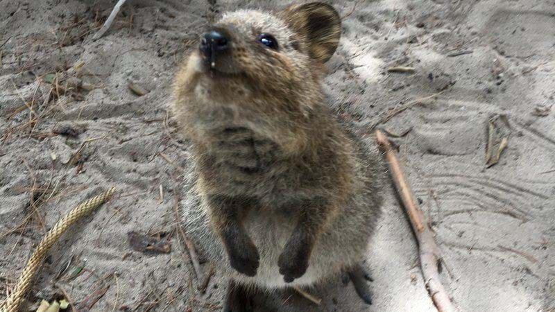 Article heading image for Federer's Quokka Selfie A Tourism Win