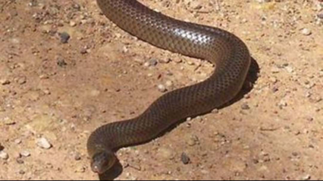 24-Year-Old NSW Man Dead After Brown Snake Bite