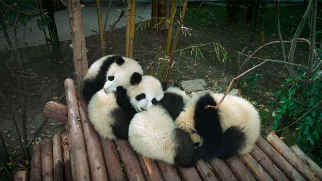 There's A Movie About Baby Pandas Coming Out This Year & It's So Damn Cute!