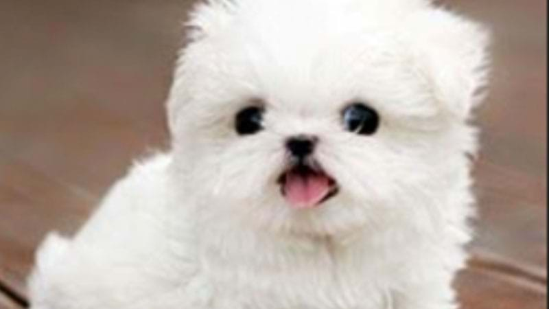 Article heading image for RUFF GO: Police Investigating Puppy Scam