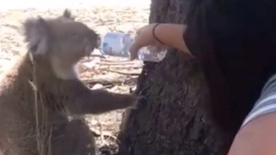 It's So Hot, People Are Offering Koalas Water Bottles