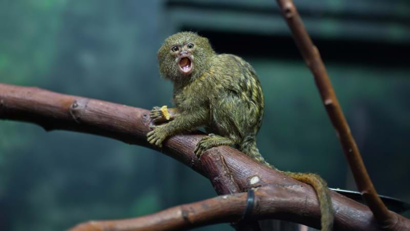 Sydney Bloke Charged Over Rare Monkey Heist