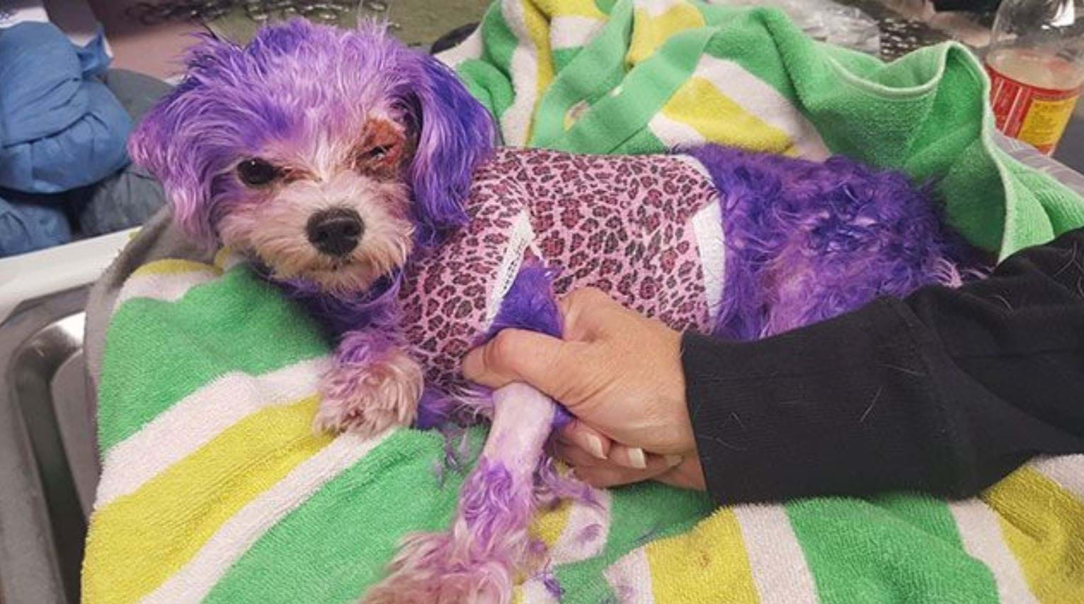 Article heading image for Dog Sustains Life-Threatening Burns After Owner Dyes Her Coat Purple
