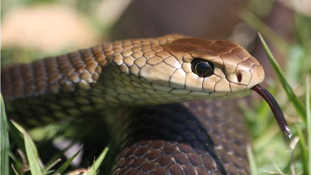 """Toowoomba Snake Catcher is Urging Locals: """"Don't Be A Hero"""""""