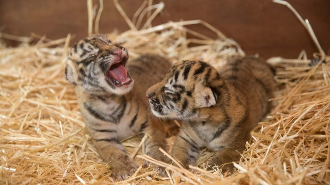 Dreamworld's Brand New Tiger Cubs Are Straight Up Adorable
