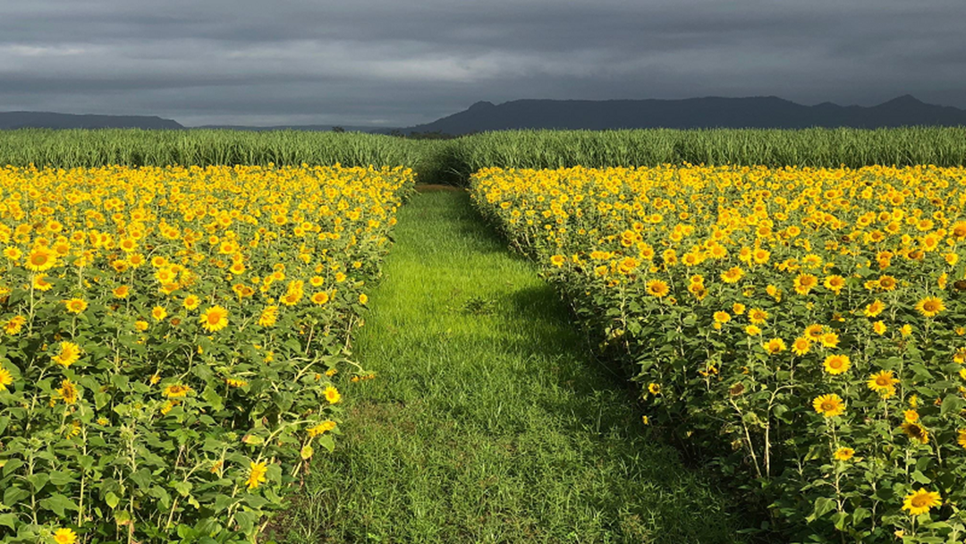 How The Ingham Floods Impacted That Sunflower Paddock