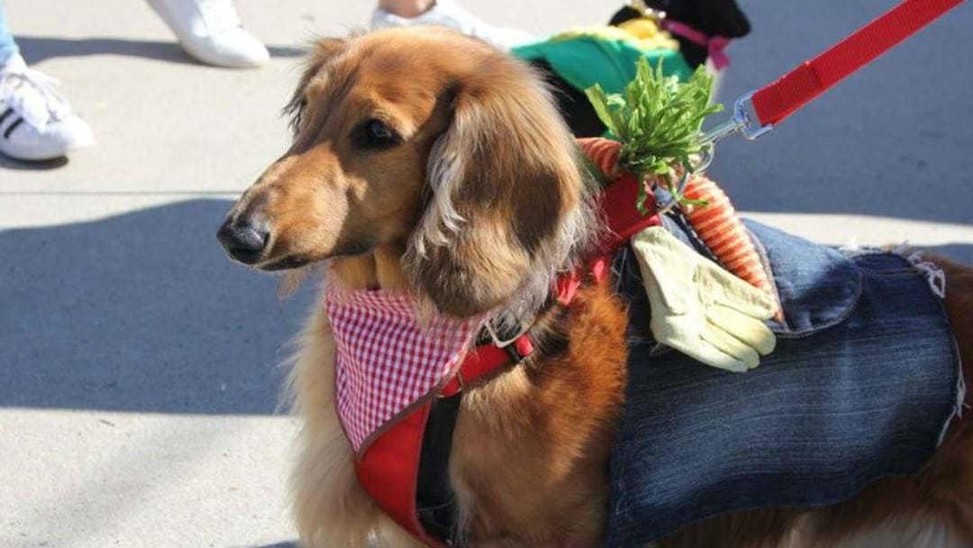 PUPS GET PRIMED FOR DACHSHUND FASHION PARADE