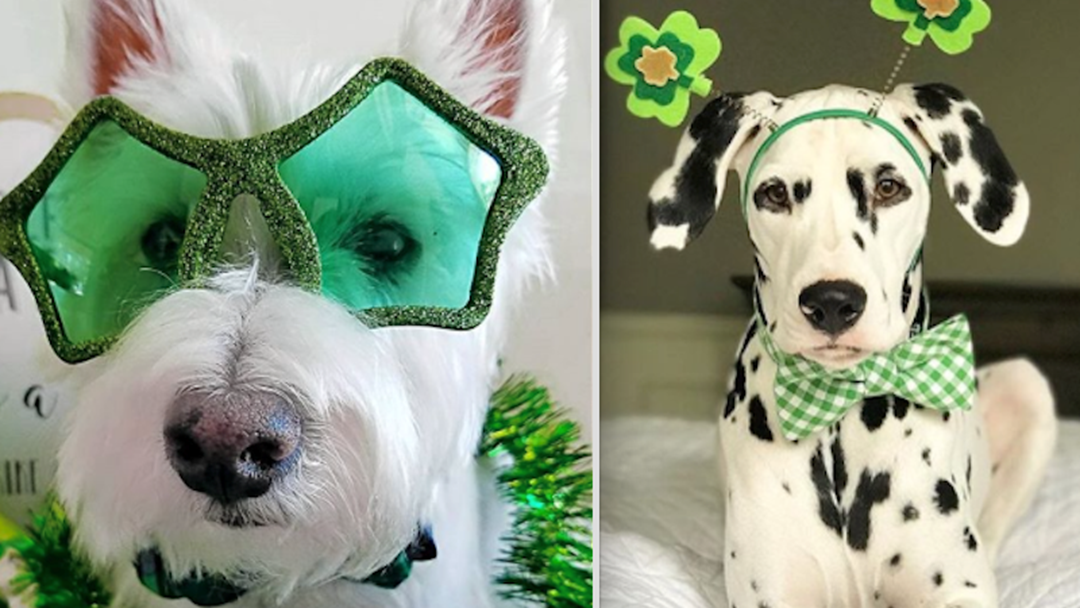 Pets That Were Forced To Dress Up For St Patrick's Day