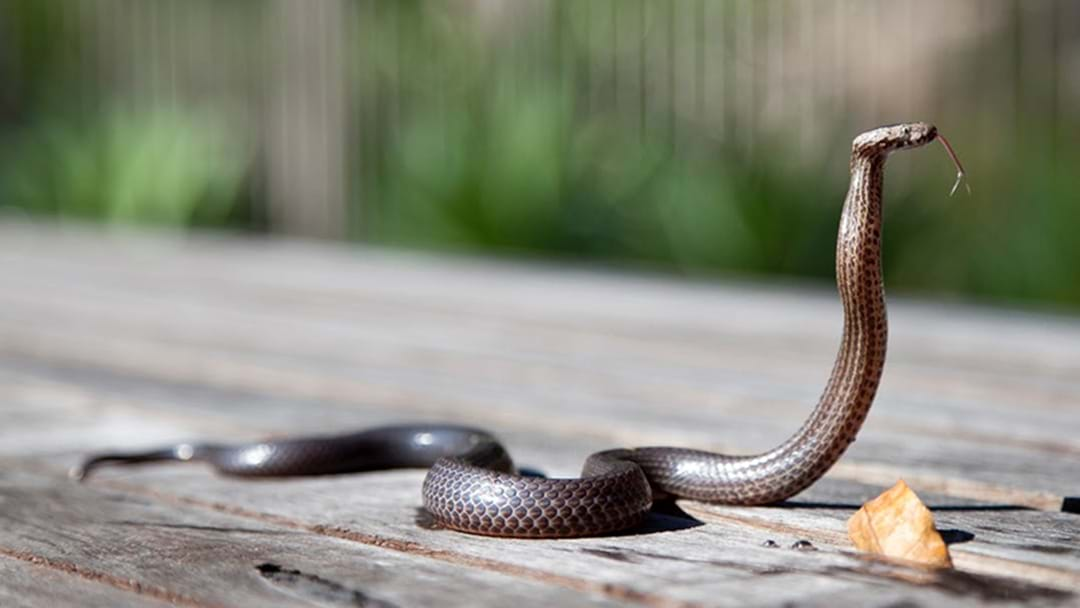 QLD Student In Hospital After Snake Bite