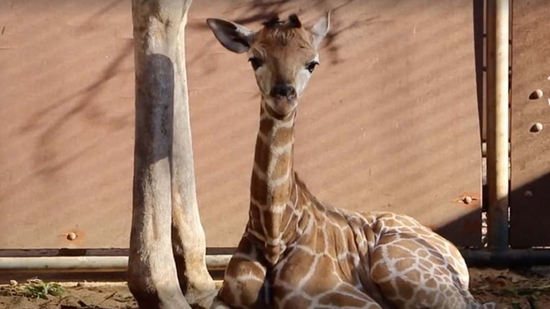 Stop What You're Doing & Name Perth Zoo's Giraffe Calf So You Can Win A Date With One!