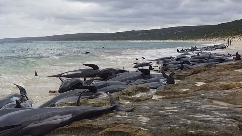 Nearly 150 pilot whales washed ashore in Australia, 135 dead