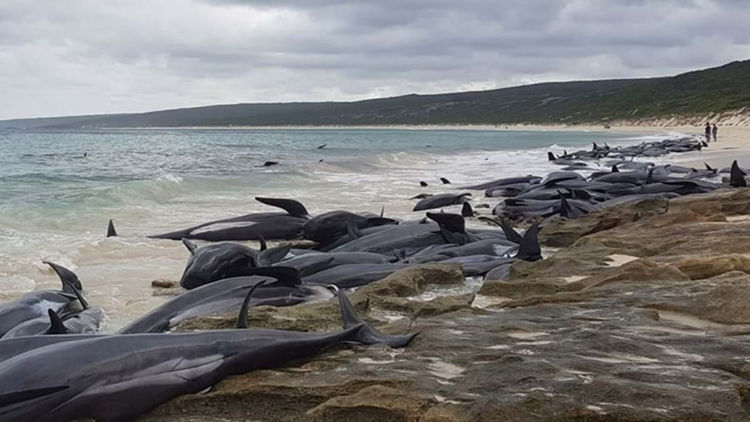 The Tragically Bizarre Circumstance Around Today's Mass Whale Stranding