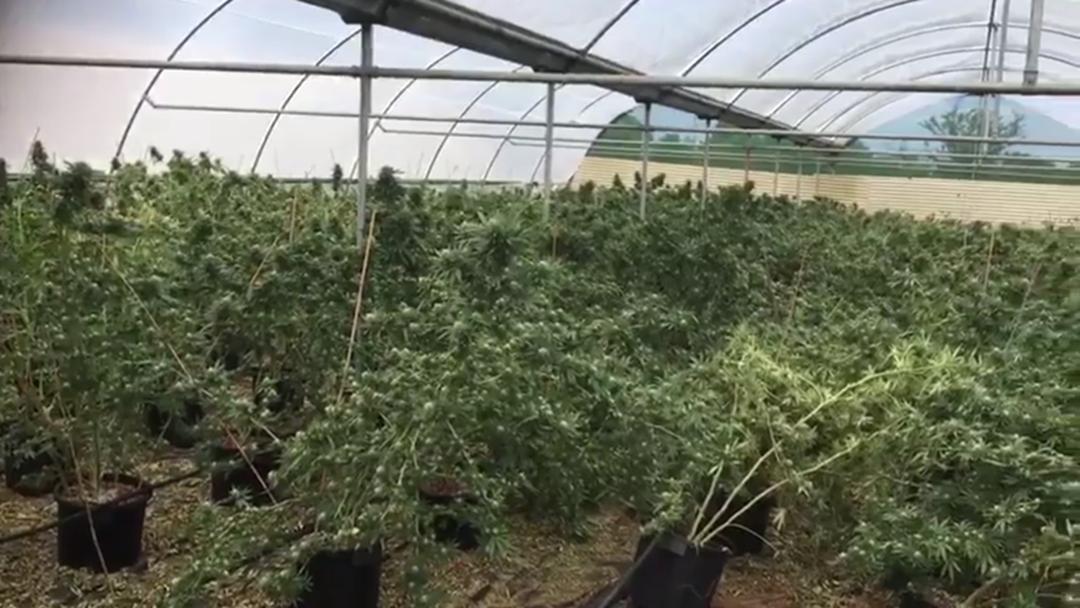 Drug Raid Uncovers 1,200 Cannabis Plants