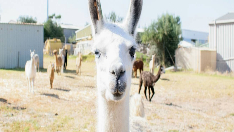 Article heading image for The RSPCA Has 19 Alpacas And Llamas To Re-Home