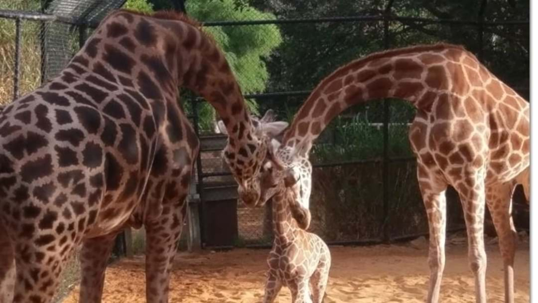 Public Debut For Zoo Baby