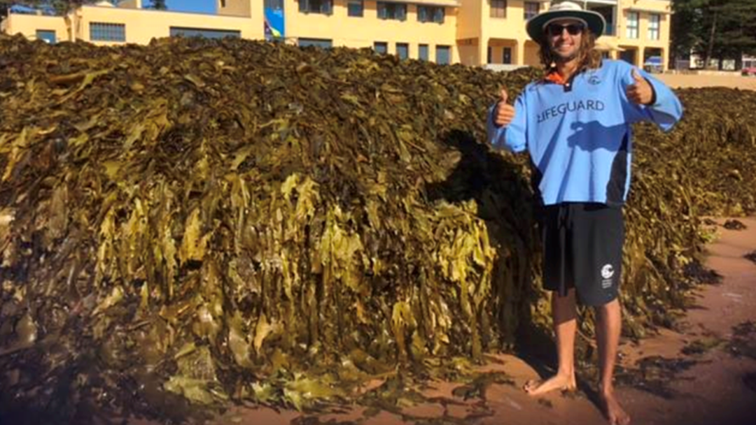 Sydney Beach Closed For The Easter Weekend As Metres Of Seaweed Wash Ashore