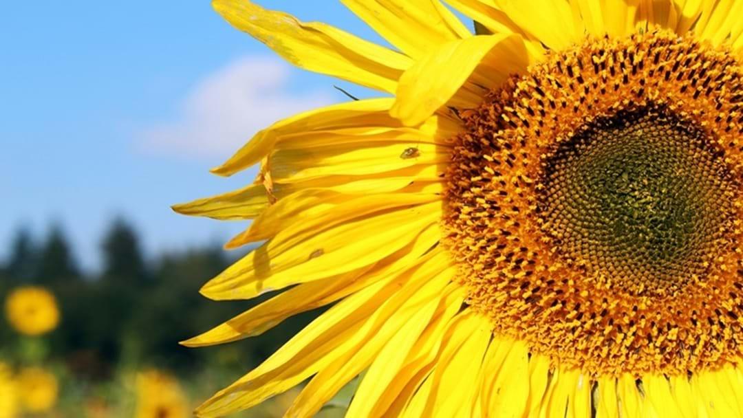 Cambooya's Sunflower Fields a Must!