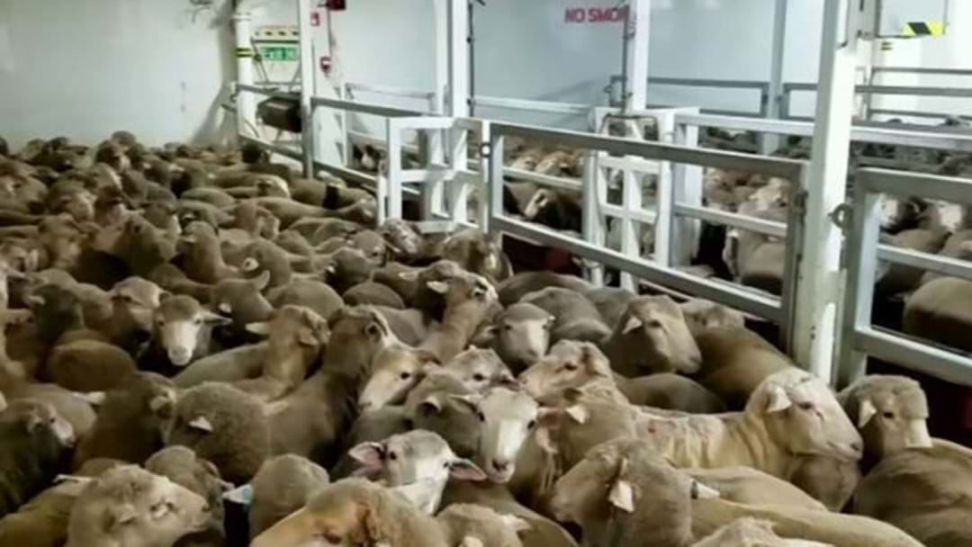 Live Sheep Exports Review Follows 'Shocking' Footage Expose