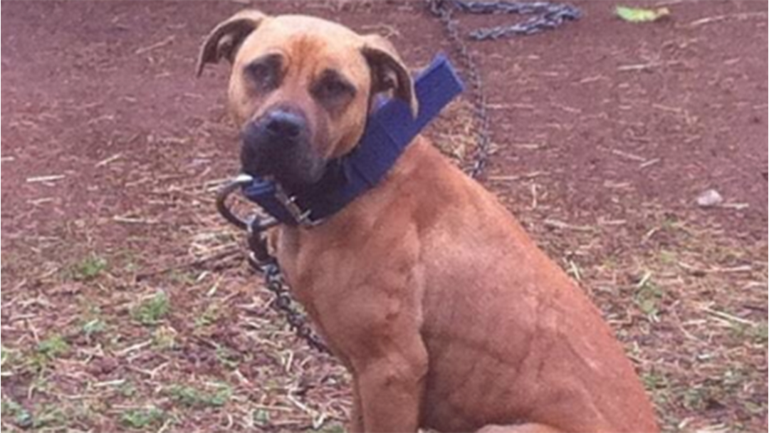 Adelaide Man Jailed For Dog Fighting