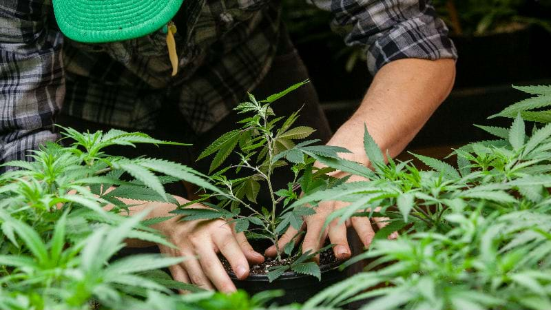 Article heading image for PUSH TO LEGALISE CANNABIS REJECTED