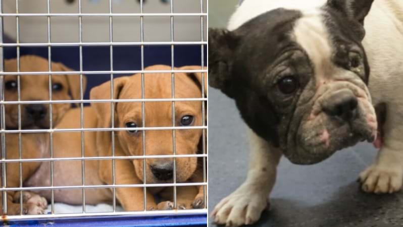 Article heading image for RSPCA Bust Illegal Dog Fighting Ring, Rescuing 56 Dogs and Pups