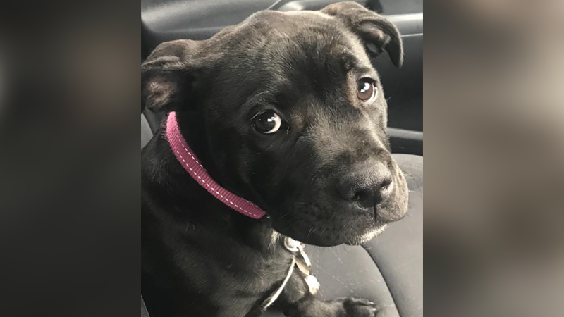 Article heading image for A 16-Week-Old Staffy Was Stolen From Her Home & The Owners Are Desperately Searching