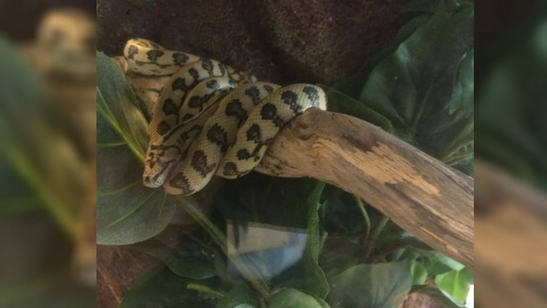 Python, Drugs and Weapons Found In Port Stephens Raid