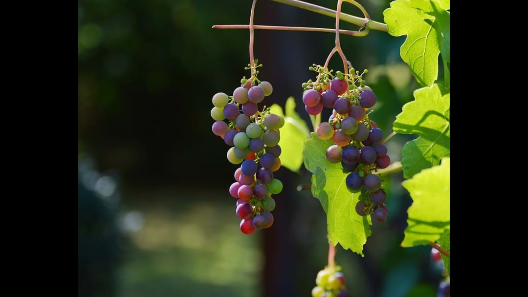 Great News for the The Limestone Coast Wine industry