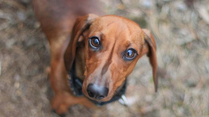 Oklahoma woman dies after mauling from pack of dachshund mixes
